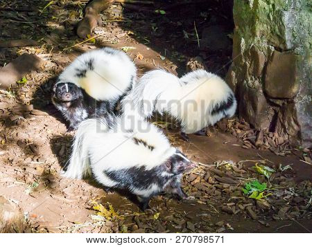 Family Of Black And White Striped Skunks, Wild Animals From Canada
