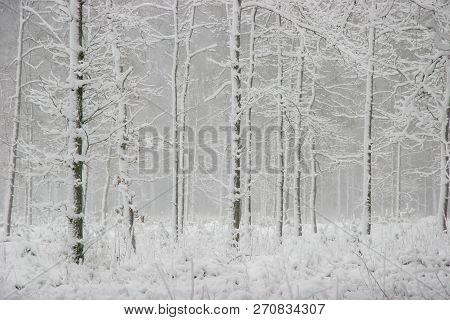 Beautiful Landscape Of The Forest On A Cold Winter Day With Trees Covered With Snow. Snowfall In The