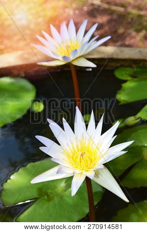 Water Lily Flower In Water Pond / Close Up Of Beautiful Yellow White Flower Water Lily Or White Lotu