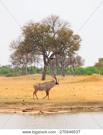 Portrait View Of A Roan Antelope Standing Infront Of A Tree Near A Waterhole On The Plains Of Hwange
