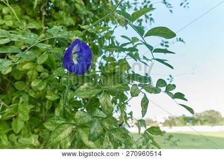 Asian Pigeonwings Or Clitoria Ternatea Violet Flower With Sky