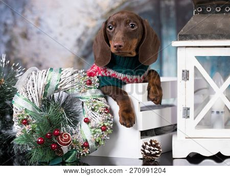 christmas dachshunds in box
