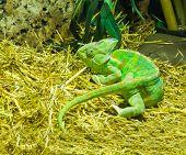 green cone head chameleon, a tropical terrarium pet from Arabia. poster