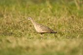 Long-billed Curlew Hunting The Field for a good meal poster