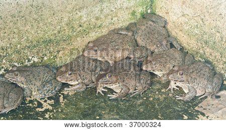 Frogs In Farm