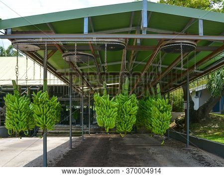 Green Bananas Hang On Chains Under The Elevator Roof. Banana Plantation In Le Francois, Martinique,
