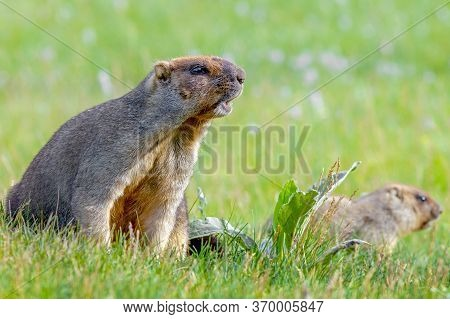 Funny  Groundhog With Fluffy Fur Sitting In A Meadow On A Sunny Warm Day, Close-up, Groundhog Day