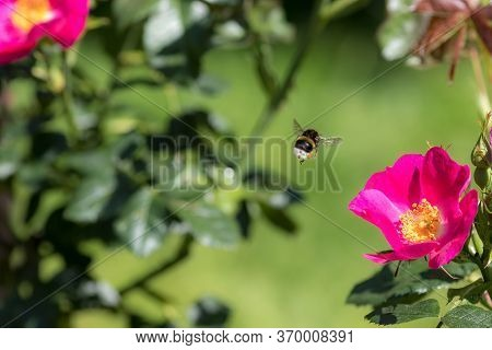 Bee Pollination. Bumblebee Insect Flying To A Garden Rose Flower In Spring Or Summer. Bee Hovering M
