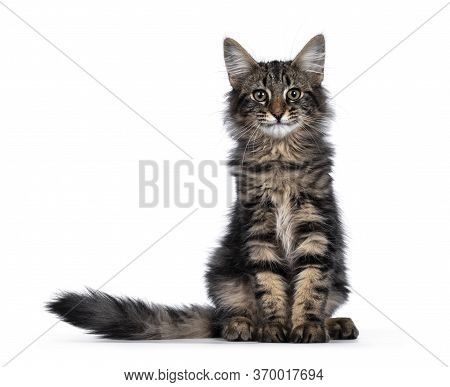 Black Tabby Blotched Norwegian Forestcat On White Background