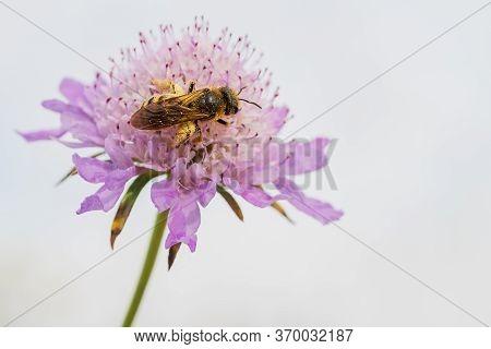 Honeybee, Apis Mellifera, Feeding And Pollinating Wild Flowers In Spring