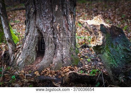Tree Trunk With A Den Dug In It