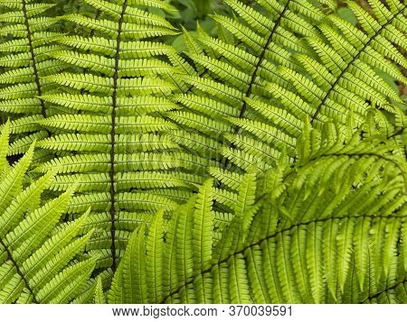 Closeup Of The Bright Green Fronds Of The Fern Dryopteris Wallichiana