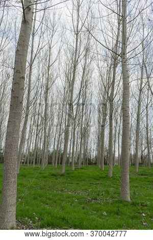 Poplars In A Meadow Along The Tanaro River, Alba - Piedmont, Italy
