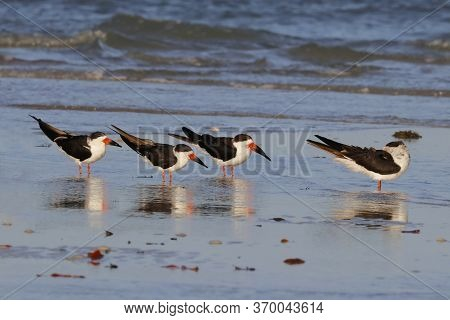Black Skimmers, Rynchops Niger In Shallow Water At The Shoreline In Florida