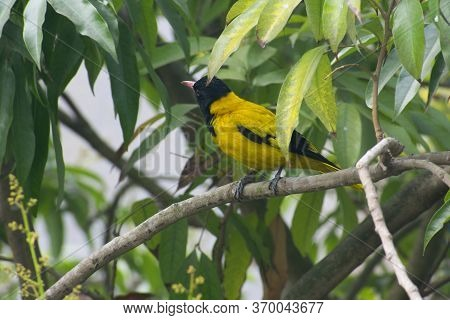 The Black Hooded Oriole Is A Member Of The Oriole Family Of Passerine Birds And Is A Resident Breede