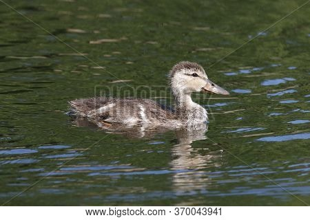 A Mottled Duck Duckling, Anas Fulvigula Swims In A Lake In Florida With Reflection In The Water