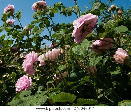 Plant Disease. Green Aphid (macrosiphum Rosae) On Rosehip (rosa Canina). Sunny Day.