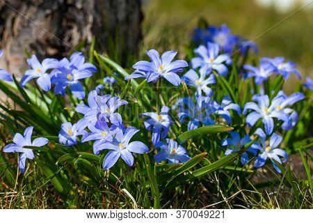 Closeup Of Blooming Blue Scilla Luciliae Flowers In Sunny Day. First Spring Bulbous Plants. Selectiv