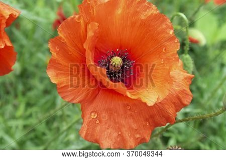 Red Poppy Flower On A Sunny Day