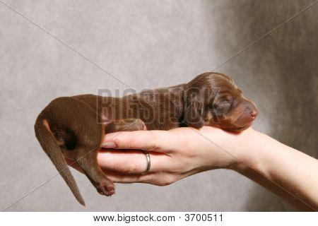 Cute Dachshund Puppy On The Hand