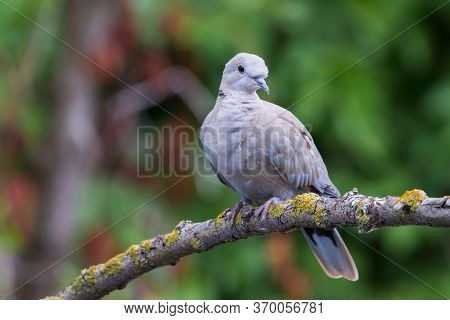 Collared Dove Or Streptopelia Decaocto On Branch.