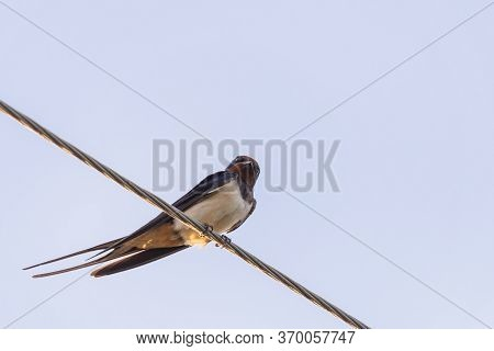 Barn Swallow Or Hirundo Rustica Or Swift, Lovely Black Bird With Green Face Perching On Wire Over Bl