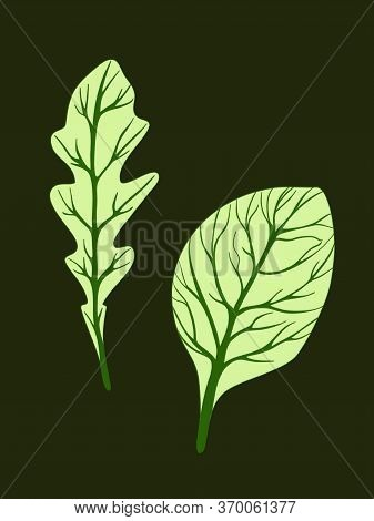 Arugula Rucola And Spinach. Green Leaves Isolated On Dark Background. Vector Illustration. Fresh Her