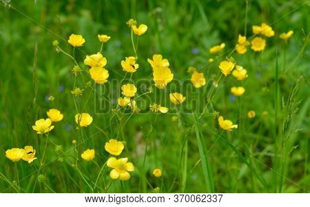 Ranunculus Acris Or Buttercups. Common Names Include Meadow Buttercup, Tall Buttercup, Buttercup And