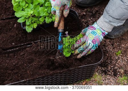 Gardener With Hoe Replants Petunia Seedlings In Decorative Pots, Close-up Photo With Selective Focus