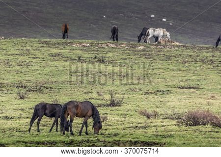 Wild Horses - So Called Brumbies - In The Kosciuszko National Park In New South Wales, Australia At