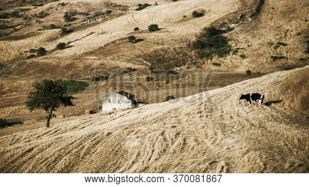 vintage rural landscape of Sicily field, stubble, house and cow