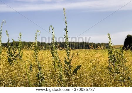 The Rapeseed Field Is Full In Late Summer Or Early Autumn With A Ripe Crop, The Crop Is Ready To Har