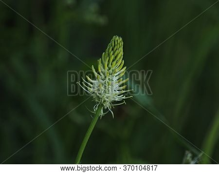 Nationally Rare Wild Flower Spiked Rampion, Found In East Sussex, England.