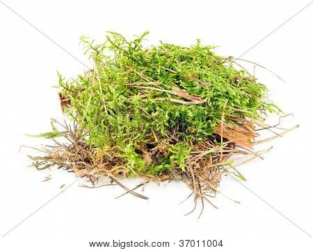 A clump of green moss with pine needles and dry leaves isolated on a white background poster