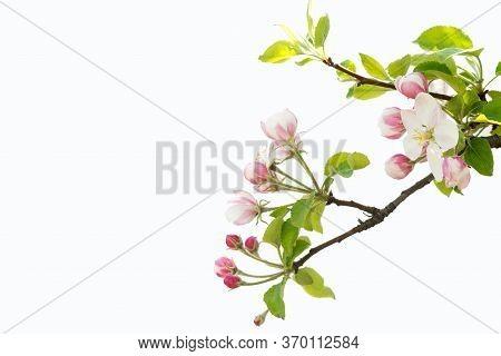 Blooming Apple Tree Branch. Apple Tree Flowers. Flowering Apple Trees In Early Spring.