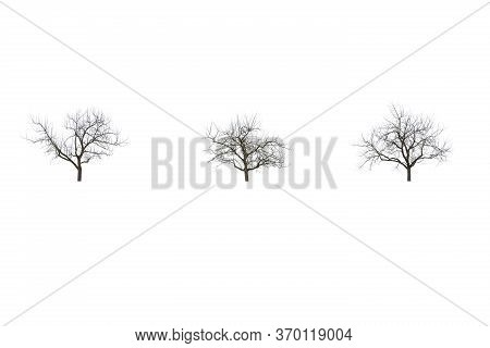 Three Leafless Trees In Winter, Isolated On White Background