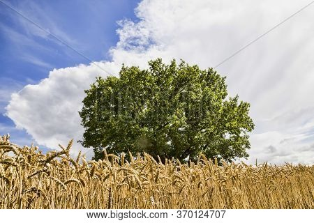 Lonely Oak Growing In A Field Where Cereals Are Grown, Landscape With Green Foliage In Cloudy Cloudy