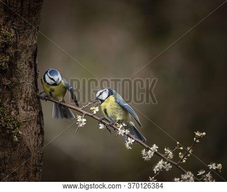 Beautiful Image Of Blue Tit Bird Cyanistes Caeruleus On Branich In Spring Sunshine And Rain In Garde