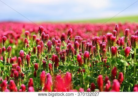Beautiful Blooming Red Clover In The Field. Natural Colorful Background. Beautiful Landscape In The