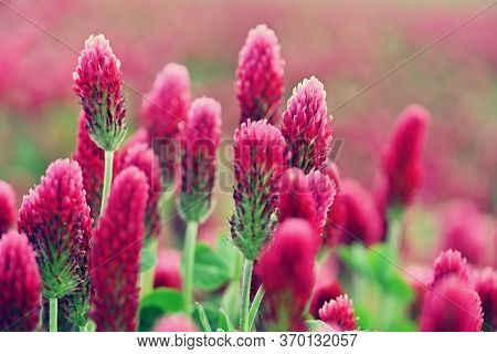 Beautiful Blooming Red Clover In The Field. Natural Colorful Background.