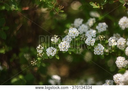 In Spring, A Shrub With Many White Flowers Blooms-spiraea. White Flowers On A Green Blurred Backgrou