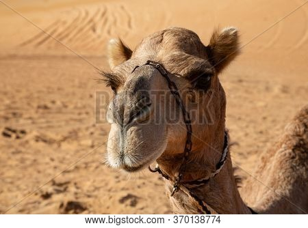 Portrait Of A Dromedary Camel In Omans Wahiba Sands Desert Featuring Long Eye Lashes