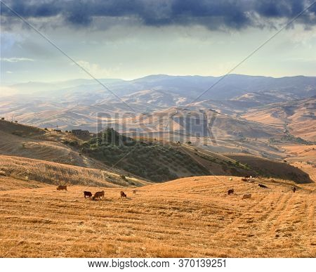 sicilian landscape of countryside hills with herd of cow grazing stubble of wheat field