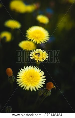 Small Bee On Beautiful Dandelions With Green Background And Copy Space