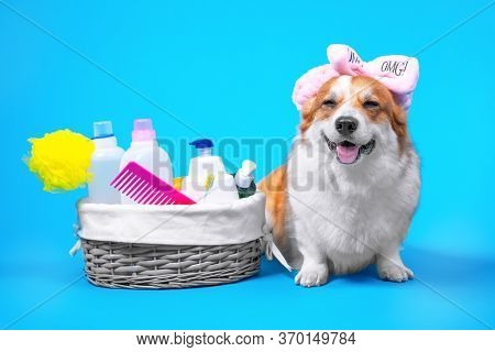 Cute Welsh Corgi Pembroke Or Cardigan Dog In Soft Bow Spa Headband Is About To Take Shower Or Washin
