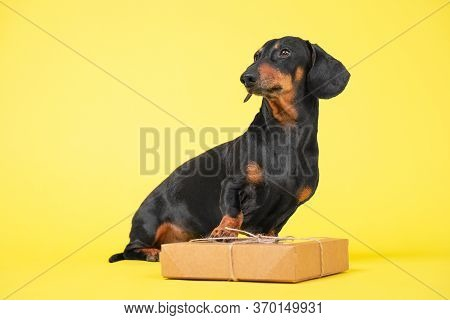 Obedient Dachshund Dog Sits With Craft Box Decorated With Lace And Bow On Yellow Background, Copy Sp