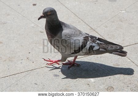 Feral Pigeons, Also Called City Doves, City Pigeons, Or Street Pigeons Doves . Pigeon Walking On Pav