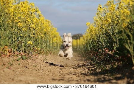 Small Havanese Dog Is Running In A Yellow Rape Seed Field