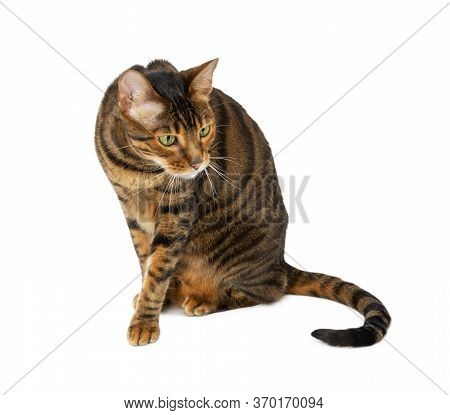 Adult Cat Breed Toyger Isolated On White Background.