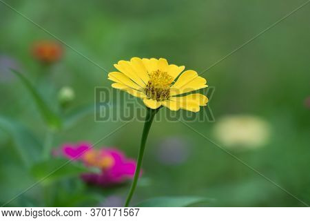 A Close-up Of A Beautifully Attractive Yellow Zinnia (zinnia Violacea), In The Garden.